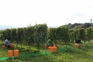 収穫実習2 (1024x683)